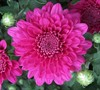 Beth Chrysanthemum