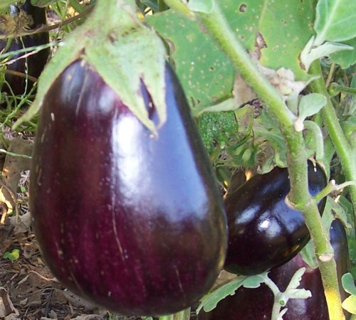 Picture of Black Beauty Eggplant