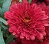 Pobo Chrysanthemum
