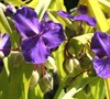 Blue And Gold Spiderwort