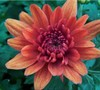 Conaco Orange Chrysanthemum