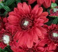 Bravo Chrysanthemum Picture