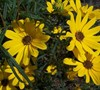 First Light Dwarf Swamp Sunflower