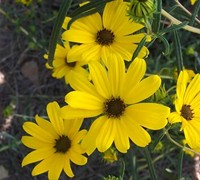 First Light Dwarf Swamp Sunflower Picture
