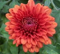 Jennifer Chrysanthemum Picture