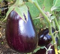 Black Beauty Eggplant Picture