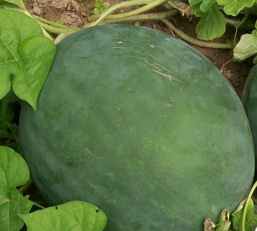 Picture of Sugar Baby Watermelon - Gardenality