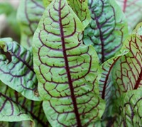 Bloody Sorrel Picture