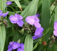 Spiderwort Picture