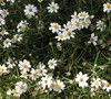 Blackfoot Daisy