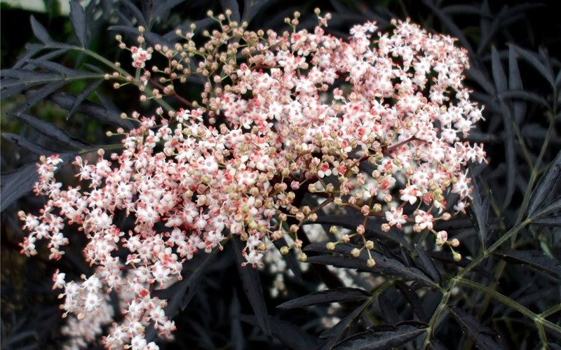 Black Lace Elderberry Picture