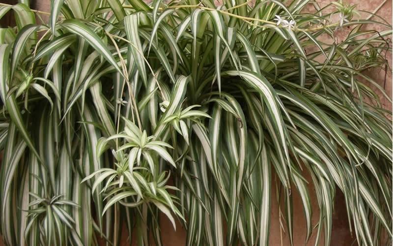 Spider Plant Picture