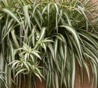 Spider Plant Picture