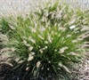 Hameln Fountain Grass