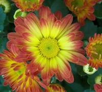 Dazzling Stacy Chrysanthemum Picture