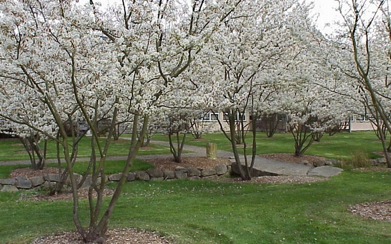 Shadblow serviceberry picture gardenality for Serviceberry tree