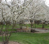 Shadblow Serviceberry Picture