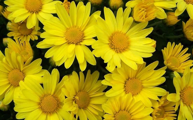 Hankie Yellow Chrysanthemum Picture