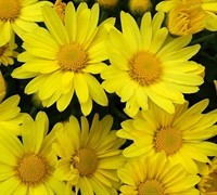 Hankie Yellow Chrysanthemum Picture