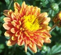 Padre Orange Garden Mum Picture