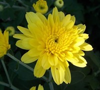 Cesaro Yellow Garden Mum Picture