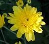 Cesaro Yellow Garden Mum