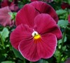 Delta Pure Rose Pansy