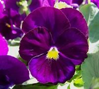 Delta Pure Violet Pansy Picture