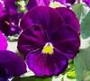 Delta Pure Violet Pansy