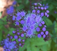 Blue Hardy Ageratum Picture