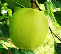 Yellow Delicious Apple Picture