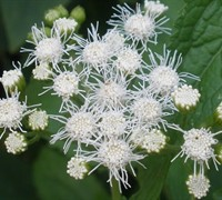 White mistflower perennial plants perennial white ageratum picture mightylinksfo