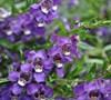 Angelmist Spreading Purple Angelonia