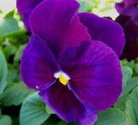 Majestic Giant Purple W/ Blotch Pansy Picture