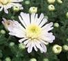 Aluga White Chrysanthemum