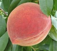 Elberta Peach Picture
