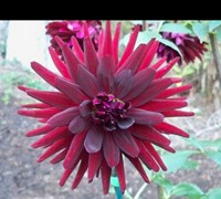 Black Cat Dahlia Picture
