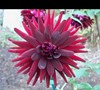 Black Cat Dahlia