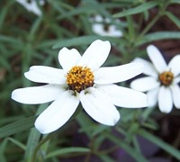 Star Zinnia  Picture
