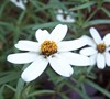 Star Zinnia 
