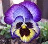 Blueberry Thrill Pansy