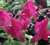 Montego Mix Snapdragon