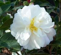 Asakura Camellia Picture