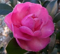 Stephanie Golden Camellia Sasanqua Picture