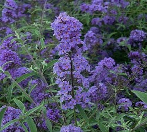 Picture of Nanho Blue Butterfly Bush