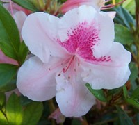 Autumn Chiffon Encore Azalea Picture