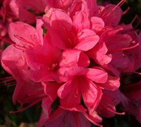 Autumn Cheer Encore Azalea Picture