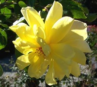 Golden Showers Climbing Rose Picture