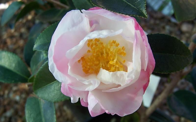 Northern Lights Camellia Sasanqua Picture