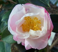 Northern Lights Camellia Sasanqua Picture